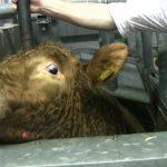 مشاهد توثق كيفية تعذيب الحيوانات وسلخها وهي على قيد الحياة
